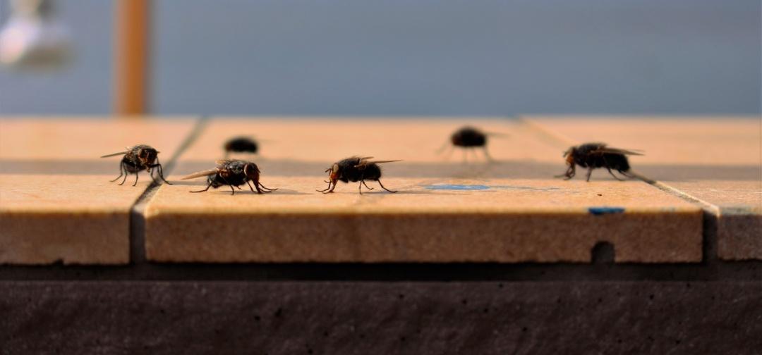 hungry-flies